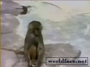 Мартышка и зеркало (видео)