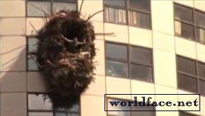 Гнездо на небоскребе. (видео)